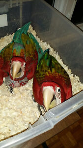 Hand raising super friendly adorable GREEN WING MACAW BABIES