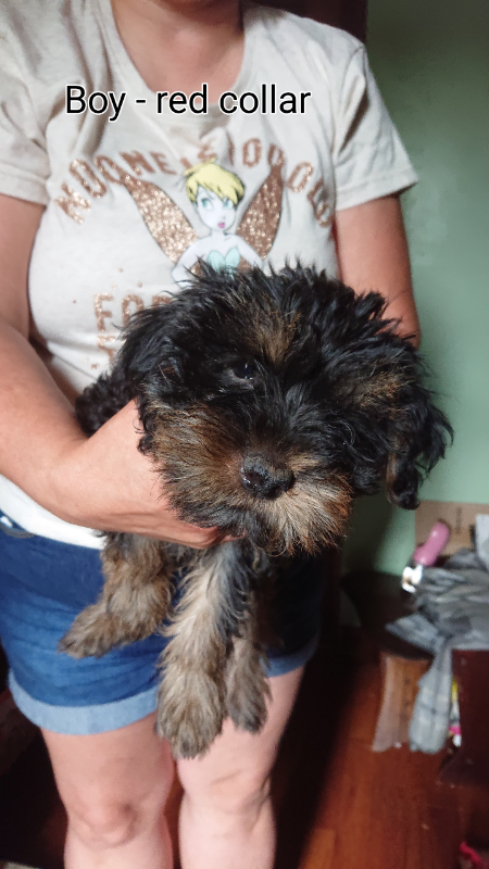 Yorkshire Terrier Puppies For Sale | in Ipswich, Suffolk | Gumtree