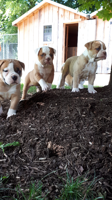 Purebred American bulldog puppies!