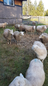 12 Ewes to lamb end of Feb and into March