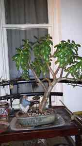 The Jaded Bonsai Collection.  Cambridge Kitchener Area image 4