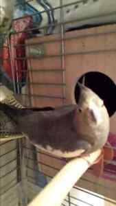 Male and female cockatiel for sale