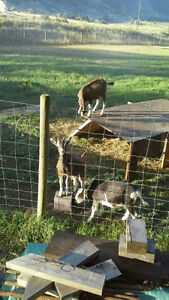 3 male 7 months old goats for $150 each