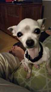 Lost white 2lb chiwawa in pine street sherwood park