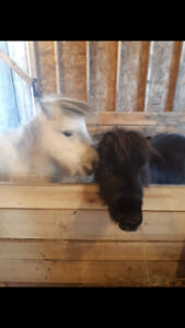 NEW PRICE!!!! Two Miniature Horses