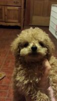 YORKIE - POO PUPPY FOR SALE ADORABLE ONE LEFT