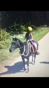 Standardbred gelding horse and pony 1300 both