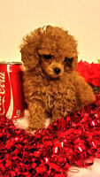 """Toy Poodle barbies just in time for valentine """"Red"""""""