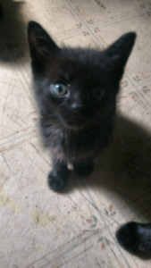 Black kittens free to good homes