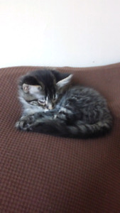 Beautiful 8 week old kittens for adoption