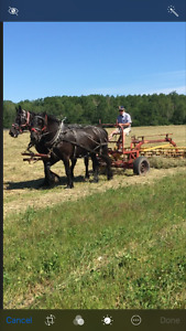 Percheron mare