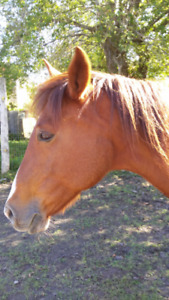Free lease type companion horse looking for a home