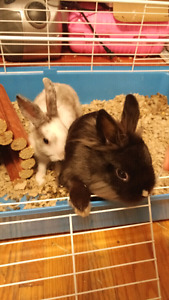 2 dwarf rabbits and cage