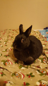 Purebred Netherland Dwarf Female Rabbit To Rehome For Christmas
