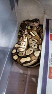 Butterball python for trade