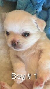 6 Purebred CKC Long coat Chihuahuas puppies, reasonable prices