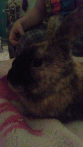 Free Male Rabbit to good home!