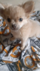 2 x long haired chihuahua pups