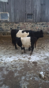 Belted Galloway Cow Calf Pair