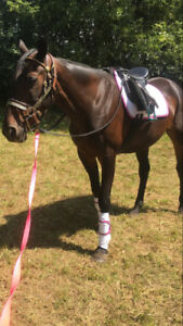 15 year old thoroughbred for sale