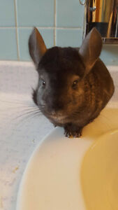 Chinchillas, Cage & Supplies For Sale to Loving Home