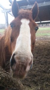 Therapy Horses looking for new homes asap