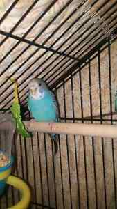 Baby budgie hand tamed