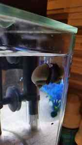 Large 1inch Blue Mystery Snail