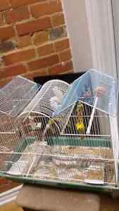 Lonely Female budgie needs to go ASAP