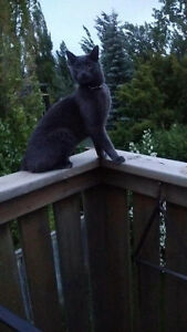 Grey cat found with black leather collar