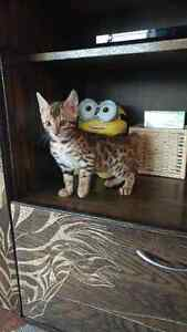 BEAUTIFUL BENGAL KITTENS READY FOR THEIR FOREVER HOME