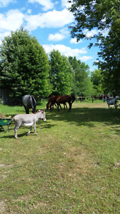 Horse boarding in Colborne. After April 1st $175