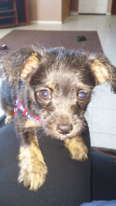 male Toy poodle cross chihuahua