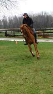 Registered Arabian Gelding