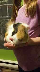 guinea pigs males