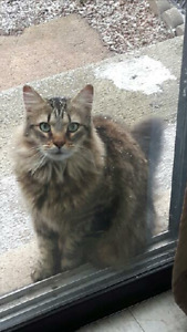 """Oliver """"Ollie"""" Brown Tabby Missing"""