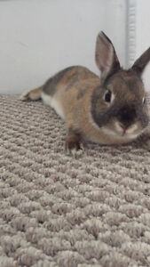 Adorable Netherlands Dwarf Rabbit, Cage and Food