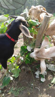 Nubian Alpine Cross Goats from 7 to 18 months old (farm raised)