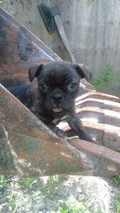 Adorable Frug Puppy! French bulldog X pug