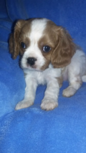 Cavalier King Charles Spaniel puppies - Blenheim & Black and Tan