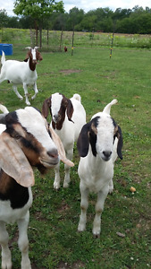 3 young male boer goats