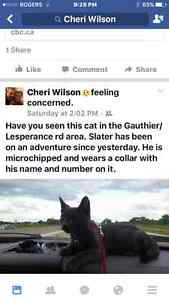 Lost small grey cat in the Gauthier/lesperance area in Tecumseh.