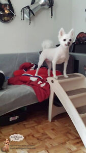 Sitting for small friendly dogs in a home of a certified trainer West Island Greater Montréal image 6