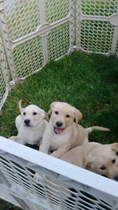 Labrador Retriever Puppies - Yellow