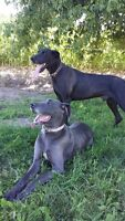 Male and Female Great Dane For Sale