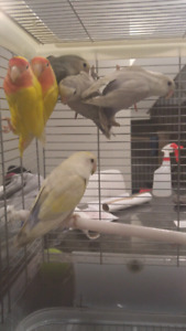 Lovebird babies and breeding pairs - WKND SALE