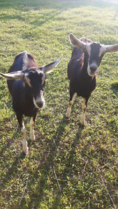 2 alpine goats for sale