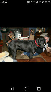 CKC Registered Great Dane Only 2 F/ 1 M Left Payment plan avail London Ontario image 4