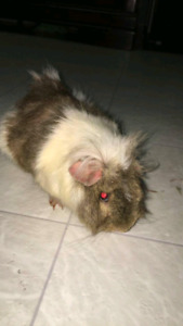 Guinea pig  (75$ OBO) *CAGE,BEDDING AND FOOD INCLUDED*