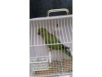 Ringneck parrot 10 months old